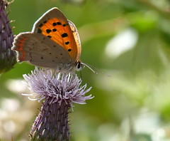 Small Copper (eric robb niven) Tags: ericrobbniven scotland small copper butterfly springwatch
