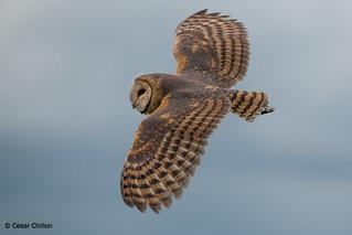 Tyto alba - Barn Owl - Lechuza Común