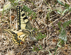 Machaon - Papilio machaon - ♀ (michel lherm) Tags: ailes wings animalia papilionidae insekt lepidoptera insect noir blue wildlife faune animals papiliomachaon jaune animaux france nature insecto fly orange animal insecte bleu insekten insetto macro fauna naturaleza papillon rhopalocères papillons insectes lépidoptères insecta yellow black machaon