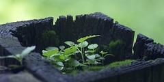 Microforest (B. W. Townsend) Tags: macro stack photomerge vivitar 90mm series1 f25 125 plant leaf terrarium