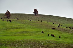 American Bison on a Hillside in Custer State Park
