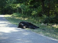 Bear sleeping on the road (cosbrandt) Tags: gfx50s gf110mm safari