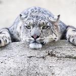 Snow leopard on a rock thumbnail