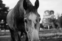 Curious Horse (Jethro_aqualung) Tags: nikon d800e bn bw monochrome animal horse nature outdoor