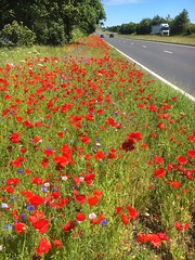 These flowers have been planted but are great for insects (dbarlow) Tags: stockton durham billingham teesside poppy's cornflower planting wildflowers