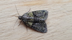 20180814_065832 (Paul Young1) Tags: treelichenbeauty cryphiaalgae noctuidae 1 one single moth moths animal animals insect insects insecta arthropod arthropods arthropoda lepidoptera nature wild wildlife uk british britain perched perching close study imago unitedkingdom closeup top topview closedwings