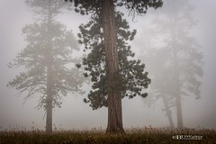 Ponderosa Pine Standing Sentinel (Bruce Walter) Tags: ponderosapine pine tree summer sunrise fog smoke white beautifulbc explorebc