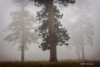 Ponderosa Pine Standing Sentinel