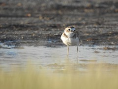 Wilson's Plover (FluvannaCountyBirder754) Tags: fortdesoto fortdesotopark eyelevel stpetersburg pinellascounty florida birdwatching bird birding birder birds wilsonsplover plover shorebird mud grass water puddle nature outdoor outdoors outside animal creature