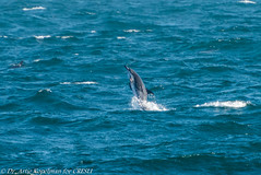 AHK_6412 (ah_kopelman) Tags: 2018 cresli creslivikingfleetwhalewatch delphinusdelphis montaukny shortbeakedcommondolphin vikingfleet vikingstarship whalewatch