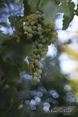 I seen it through the grapevine (PvRFotografie) Tags: green groen greece griekenland lesbos lesvos leaves bladeren druiven grapes bokeh sonyilca99m2 minolta minoltaaf50mmf14 vintagelens nature natuur