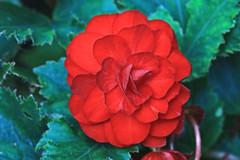 Red Begonia Macro (hbickel) Tags: redbegonia red redflower photoaday pad