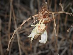 Cicada (Cicada orni) Nymph (Nick Dobbs) Tags: cicada orni nymph insect juvenile malta macro nymoh