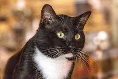 javacatscafe12Aug20180382.jpg (fredstrobel) Tags: javacafecats javacatscafe pets atlanta animals usa cats places ga georgia unitedstates us