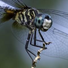DragonFly_SAF4110-2 (sara97) Tags: odonata copyright©2018saraannefinke dragonfly insect missouri mosquitohawk nature photobysaraannefinke predator saintlouis towergrovepark