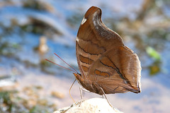 Orion Cecropian (Historis odius dious) (bayucca) Tags: orioncecropian historisodiusdious regenwald rainforest ecuador copalinga copalingaroad viapodocarpus parquenacionaldepodocarpus taxonomy:trinomial=historisodiusdious edelfalter nymphalidae nymphalinae coeini neotropical schmetterling butterfly butterflies lepidoptera farfalla papillon provinciadezamorachinchipe zamora südamerika southamerica