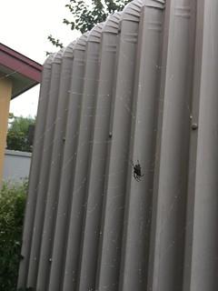 'Possum Spider