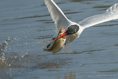 got it.. (Earl Reinink) Tags: tern caspiantern fish fishing water lake bird animal flight outdoors nature wildlife earl reinink earlreinink ttodhazdza