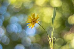 Tragopogon pratensis (Torok_Bea) Tags: tragopogonpratensis bakszakál flowers nikon nikond7200 d7200 carlzeissplanar planar carlzeiss bokehflowers nature natur