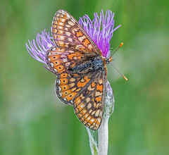 DSC0810  Marsh Fritillary.. (jefflack Wildlife&Nature) Tags: fritillary fritilliaries marshfritillary butterfly butterflies lepidoptera insects insect wildlife wetlands moorland marshland meadows marshes farmland fields countryside nature jefflackphotography