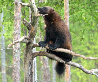 The wolverine on the branch.