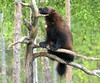 The wolverine on the branch. (irio.jyske) Tags: animal wolverine deadwood branch forest trees colors watching food birds wilderness nature naturephoto naturepictures naturephotograph naturephotos naturescape naturephotographer naturepic naturepics natural photographer landscape landscapephotograph landscapes landscapephotographer landscapephotos lakescape landscapepics lake landscapepic lanscape beast nice angry