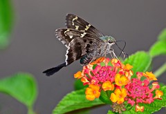 Long-tailed Skipper (deanrr) Tags: morgancountyalabama longtailedskipper butterfly skipper summer 2018 nature outdoor backyardbutterfly alabama flower marco