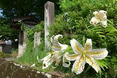 18t5354 (kimagurenote) Tags: ヤマユリ lilium liliumauratum lily 花 flower 龍昌寺 ryushoji temple 福島県三島町 mishimafukushima