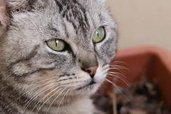 Poupèe (Marina Membibre) Tags: green eyes poupèe gatti canon eos 70d pose