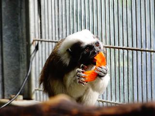 Cotton-top tamarin - Eating