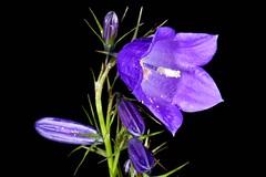 DZWONEK PIŁKOWANY (Campanula serrata) 1 (goolary) Tags: flowers beskidy kwiaty przyroda góry