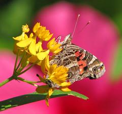 American lady in pink hibiscus (Vicki's Nature) Tags: americanlady butterfly pink hibiscus yellow butterflyweed milkweed spots yard georgia vickisnature canon s5 6158 return coth5