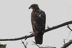 Bald Eagle (juv) (Terrance Carr) Tags: dncb tfn 20180813 reifel 2018 august terry carr terrycarr