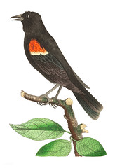 Red-shouldered oriole or Red-winged starling illustration from The Naturalist's Miscellany (1789-1813) by George Shaw (1751-1813) (Free Public Domain Illustrations by rawpixel) Tags: ake chim dicut film fon jite jubjang num ray teddy tong oriole otherkeywords animal antique art bird cc0 creativecommon0 creativecommons0 design drawing georgeshaw graphic illustration isolated life name natural pdproject redshoulderedoriole redwingedstarling sketch starling thenaturalistsmiscellany vector vintage zoology