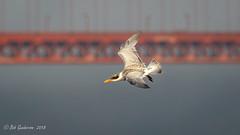 Caspian Tern and the Golden Gate Bridge (Bob Gunderson) Tags: aerialwaterbirds birds california caspiantern crissyfield hydroprognecaspia northerncalifornia presidio sanfrancisco terns
