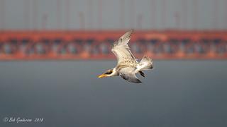 Caspian Tern and the Golden Gate Bridge