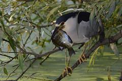 Black-crowned Night-Heron (JDA-Wildlife) Tags: birds nikon nikond7100 tamronsp150600mmf563divc jdawildlife johnny portrait closeup eyecontact heron heronblackcrownednight blackcrownednightheron whatbirdbestofday