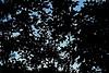 2018_0621Jigsaw0001 (maineman152 (Lou)) Tags: leaves leafsilhouette silhouette nature naturephoto naturephotography june maine