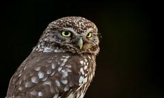 Little Owl (irelaia) Tags: little owl dark background wild bird gravestone