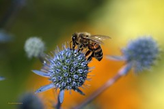 honey bee (adrian_nutter) Tags: nature bee honey