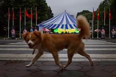Hanoi, Vietnam (jaumescar) Tags: hanoi hànội vietnam dog street circus color lowlight urban city pet flag animal dof streetphotography cute