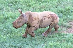 trotter (ucumari photography) Tags: ucumariphotography rhinocerous rhino baby nc north carolina zoo august 2018 ceratotheriumsimumsimum dsc0315 specanimal