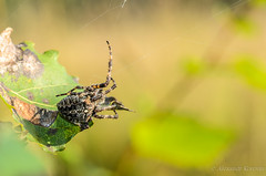 20130820_183001_Макро (Alexander Korovin) Tags: arachnid arachnida arachnids aranedae araneidae araneusangulatus closeup macro spiders крестовикугловатый макро макромир пауки паукикругопряды паукообразные