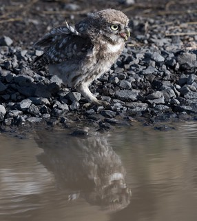 Little owl and reflection
