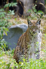 Luchs (Michael Döring) Tags: gelsenkirchen bismarck zoomerlebniswelt zoo luchs lynx afs600mm40e d850 michaeldöring inexplore