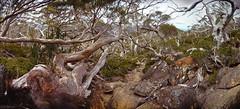 Snowgum Track (madfuzz1982) Tags: autostitch wideangle panorama landscape stitch nikon1aw1 tasmania mount field np