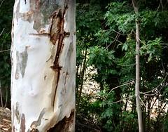 The Mark of Zorro? (Bennilover) Tags: bark patterns dagger sword knife trees design nature lightning bolt