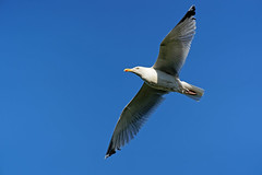 Goéland A7301269_DxO_modifié-1 (jackez2010) Tags: ilce7m3 fe100400mmf4556gmoss bif birdinflight goéland