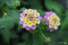 Colours, on a summer day... (Κώστας Καϊσίδης) Tags: colors colours lantana plant garden flowers greece hellas attica summerday summer leaves bloom blooming droplets