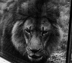 Mysterious (Ben_ProPhotography) Tags: hungry detroit photooftheday 70300mm wildlife wilderness nature blackandwhite giant cat zoo wild d5600 nikon lion